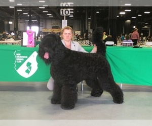 Black Russian Terrier Breeder in HAMBURG, NJ, USA