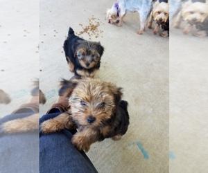 Main photo of Yorkshire Terrier Dog Breeder near BIG CABIN, OK, USA