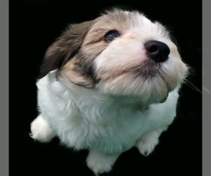 Main photo of Havanese Dog Breeder near POTOSI, MO, USA