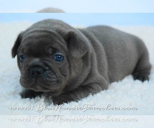 Main photo of French Bulldog Dog Breeder near LOXAHATCHEE, FL, USA