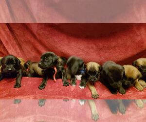 Main photo of Cane Corso-Mastiff Mix Dog Breeder near ANTELOPE, CA, USA