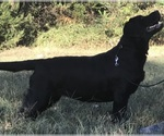Labrador Retriever Breeder in BONNERDALE, AR, USA