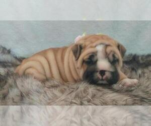 Main photo of English Bulldogge Dog Breeder near LAKELAND, FL, USA