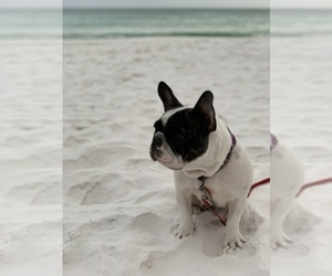 Main photo of French Bulldog Dog Breeder near IVA, SC, USA