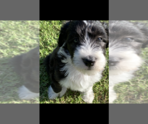 Bearded Collie-Poodle (Standard) Mix Dog Breeder in TAYLOR,  USA
