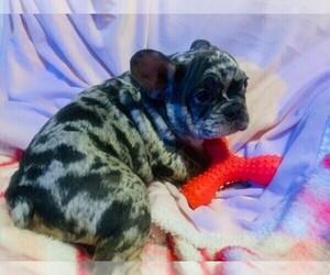 French Bulldog Dog Breeder in CRANSTON,  USA