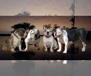 Main photo of Olde English Bulldogge Dog Breeder near LAFAYETTE, LA, USA