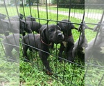 Great Dane Breeder in TUPELO, MS