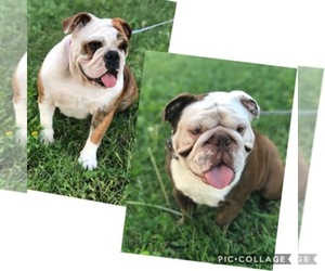 Main photo of English Bulldogge Dog Breeder near MENIFEE, CA, USA