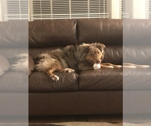 Main photo of Australian Shepherd Dog Breeder near WAUSEON, OH, USA