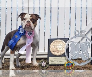 Main photo of Olde English Bulldogge Dog Breeder near W WARWICK, RI, USA
