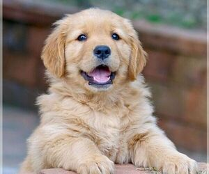 Golden Retriever Breeder in TEMECULA, CA, USA