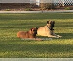 Bullmastiff Breeder in WHITEVILLE, NC, USA