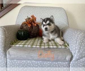 Siberian Husky Dog Breeder in MILLERSBURG,  USA