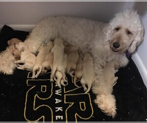 Main photo of Goldendoodle Dog Breeder near PORTSMOUTH, OH, USA