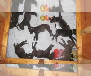 Great Dane Breeder in BRAZORIA, TX