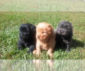Main photo of Chow Chow Dog Breeder near LENOIR CITY, TN, USA