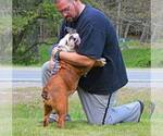 French Bulldog Breeder in ALDERSON, OK