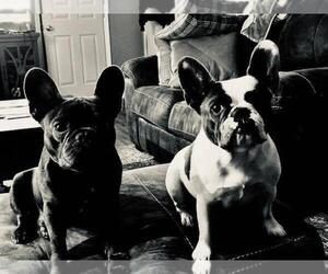 French Bulldog Dog Breeder in MADISONVILLE,  USA