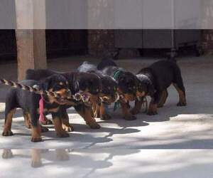 Rottweiler Dog Breeder in PROSPERITY,  USA