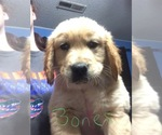 Golden Retriever Breeder in BENTON, AR, USA