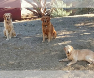 Main photo of Golden Retriever Dog Breeder near PALMDALE, CA, USA