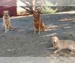 Golden Retriever Breeder in PALMDALE, CA, USA