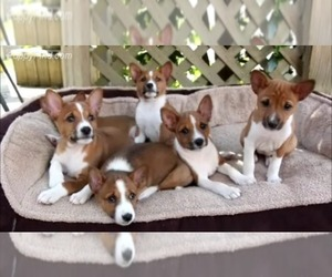 Basenji Dog Breeder near PASADENA, TX, USA