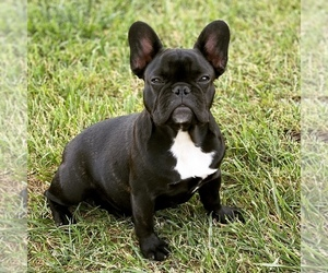 Boston Terrier Dog Breeder in STKN,  USA
