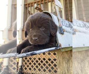 Newfoundland Dog Breeder near LOYSVILLE, PA, USA