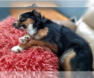 Miniature Australian Shepherd Dog Breeder in IRWIN,  USA