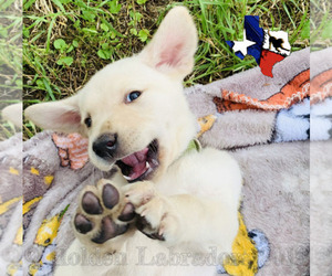 Main photo of Labrador Retriever Dog Breeder near CANYON LAKE, TX, USA