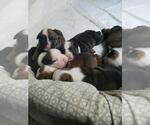 Bulldog Breeder in LAS VEGAS, NV