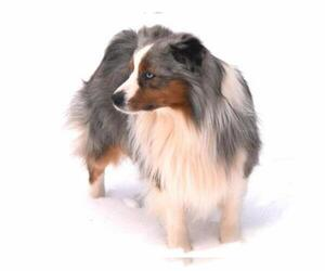 Miniature Australian Shepherd Breeder in TOBACCOVILLE, NC