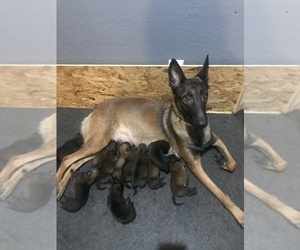 Belgian Malinois Dog Breeder in PEORIA,  USA