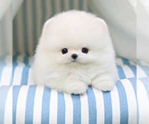 Pomeranian Dog Breeder in NORTHRIDGE,  USA