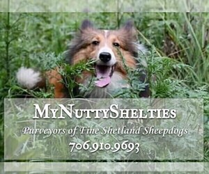 Shetland Sheepdog Dog Breeder near HEPHZIBAH, GA, USA