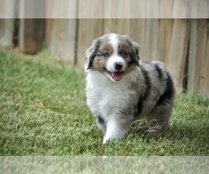 Main photo of Miniature Australian Shepherd Dog Breeder near HOUSTON, TX, USA