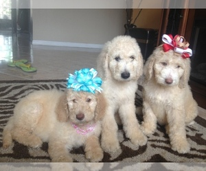 Golden Retriever Breeder in KISSIMMEE, FL
