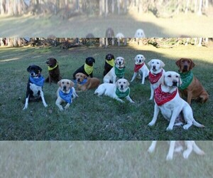 Main photo of Labrador Retriever Dog Breeder near LOVELADY, TX, USA