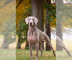 Weimaraner Breeder in BAYVILLE, NJ, USA