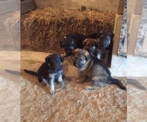 Main photo of German Shepherd Dog Dog Breeder near GERMANTOWN, IL, USA