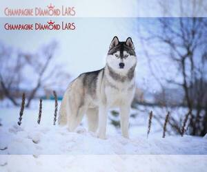 Main photo of Siberian Husky Dog Breeder near AUSTIN, TX, USA