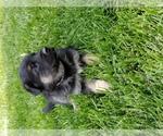 German Shepherd Dog Breeder in BORGER, TX, USA