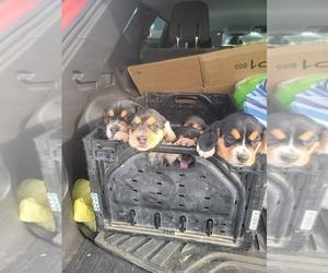 Beagle Dog Breeder in MONROEVILLE,  USA
