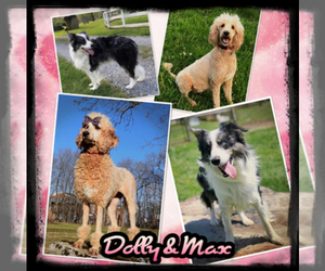 Bordoodle Dog Breeder near OAK HILL, WV, USA