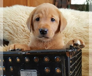 Labrador Retriever Dog Breeder in STONE LAKE,  USA