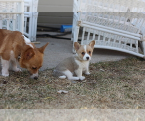 Main photo of Pembroke Welsh Corgi Dog Breeder near AURORA, CO, USA
