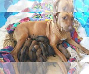 Main photo of Rhodesian Ridgeback Dog Breeder near FORT MYERS, FL, USA
