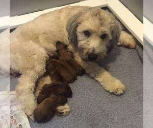 Soft Coated Wheaten Terrier Breeder in FORTVILLE, IN